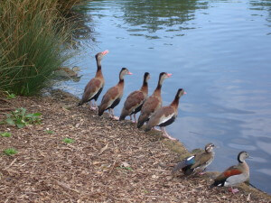 A line of waterbirds