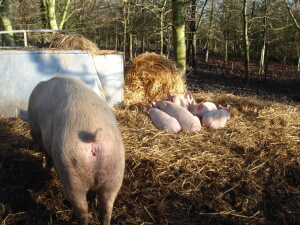 Piglets at Chruch Farm Ardeley
