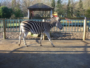 Zebra at Paradise Wildlife Park