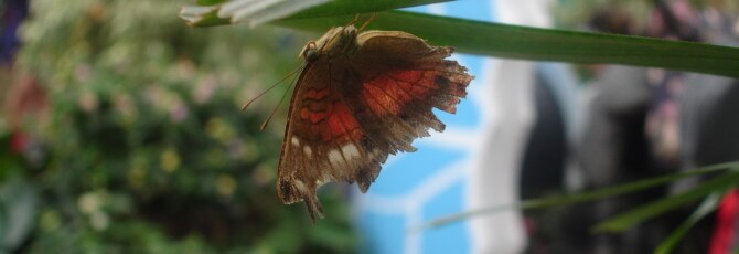 Pink and green butterfly at Sensational Butterflies NHM