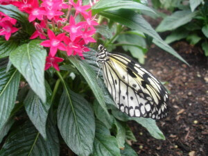 White and black butterfly at Sensational Butterflies NHM