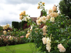 Roses at Chartwell